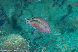 BD-130714-Maldives-0642-Parupeneus-macronemus-(Lacepède.-1801)-[Long-barbel-goatfish].jpg